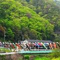 新緑の頃~江の川の鯉たち~