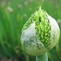 写真: 春の葱坊主くん