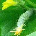 胡瓜の世界