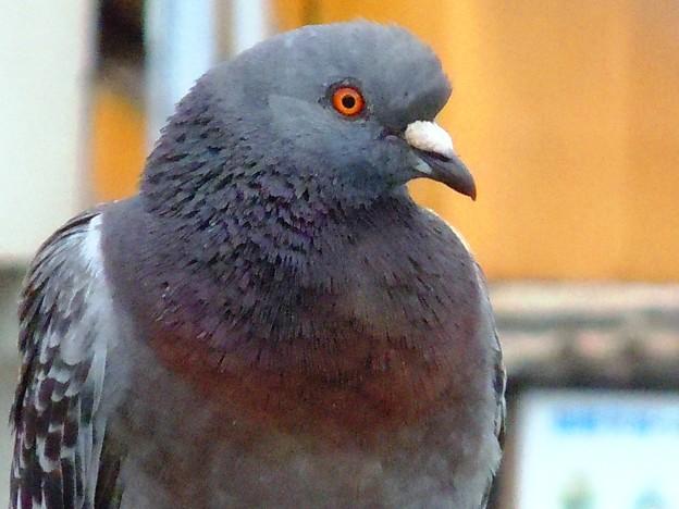 何となく貫禄のある鳩