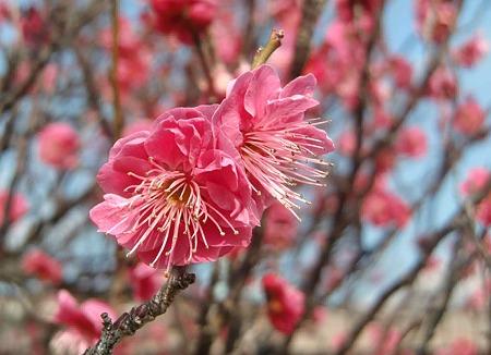 toyohashi umematsuri-230213-3
