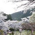 Photos: 奥山の桜