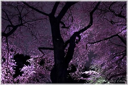 2010千鳥ヶ淵夜桜_004