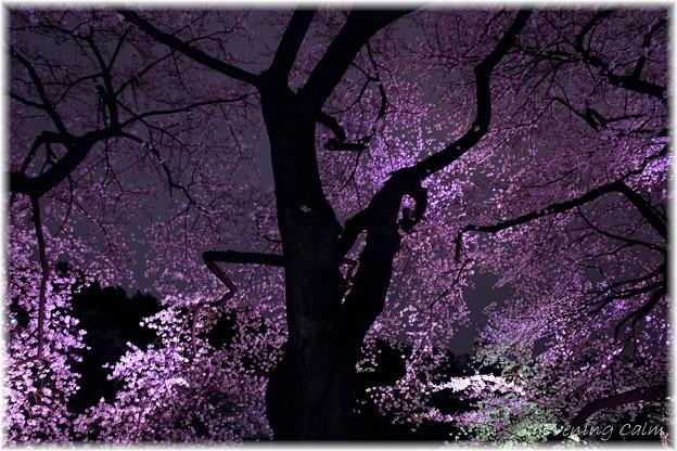 写真: 2010千鳥ヶ淵夜桜_004