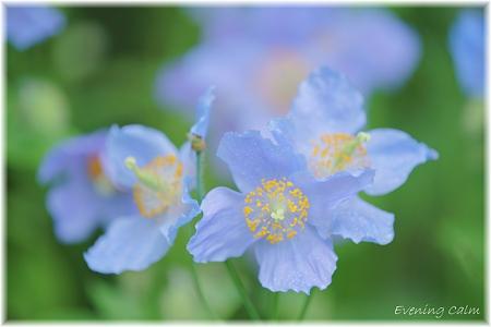 Blue Poppy_0012