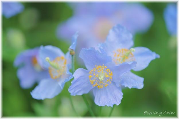 Photos: Blue Poppy_0012