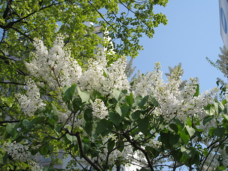 白花のライラック