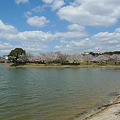 駕与丁公園の桜(6)