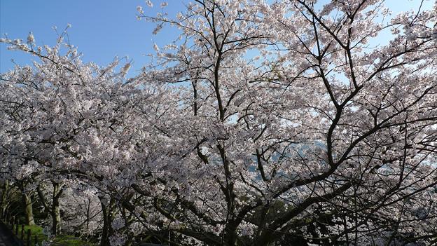 めかり公園の桜(6)