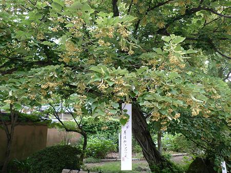 戒壇院の菩提樹(4)