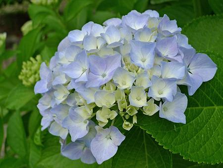 雨の宮地嶽神社(9)紫陽花