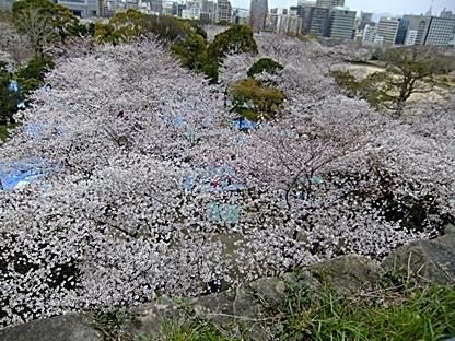下界は桜の絨毯