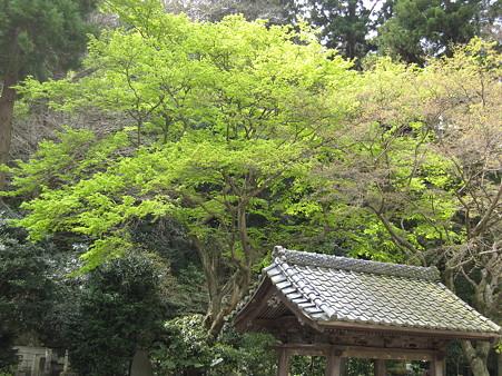 妙本寺(3)新緑