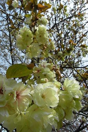 みどりの桜