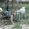 写真: ヤギと対面