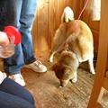写真: 柴犬のごんちゃん