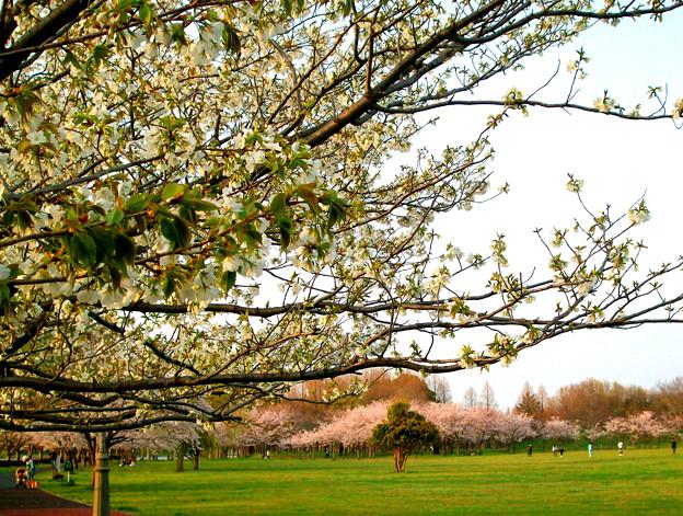 みさと公園 春