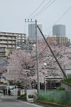 桜 2010 秋葉台公園 07