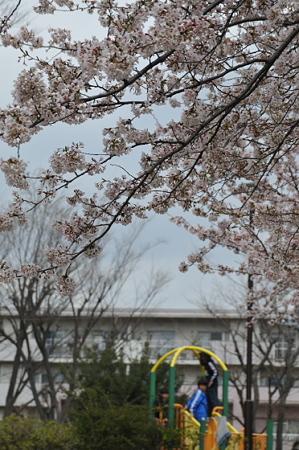 桜 2010 前田町公園 01