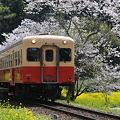 写真: 小湊鉄道の桜 2010 09