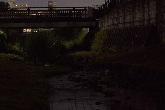 写真: 宝来橋のホタル 05