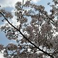 写真: 桜だう