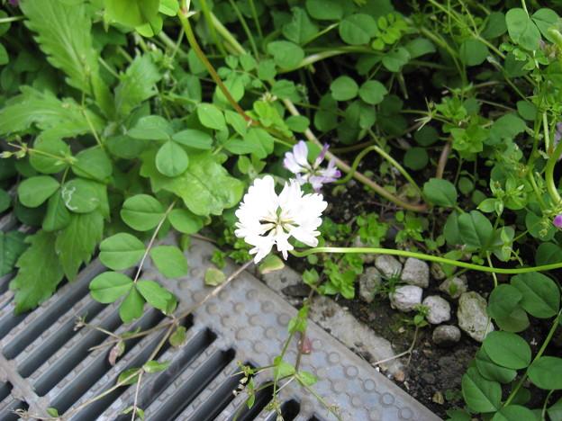 写真: 白い蓮華