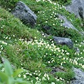 チングルマのお花畑1
