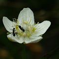 ウメバチソウと蟻