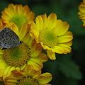 チョウと菊1